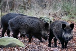 wild boar (Sus scrofa)